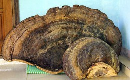 越南发现70公斤千年灵芝 当地居民8000元买下
