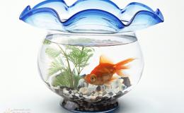 """瑞士规定只养一条金鱼违法:置其于""""孤单""""境地"""