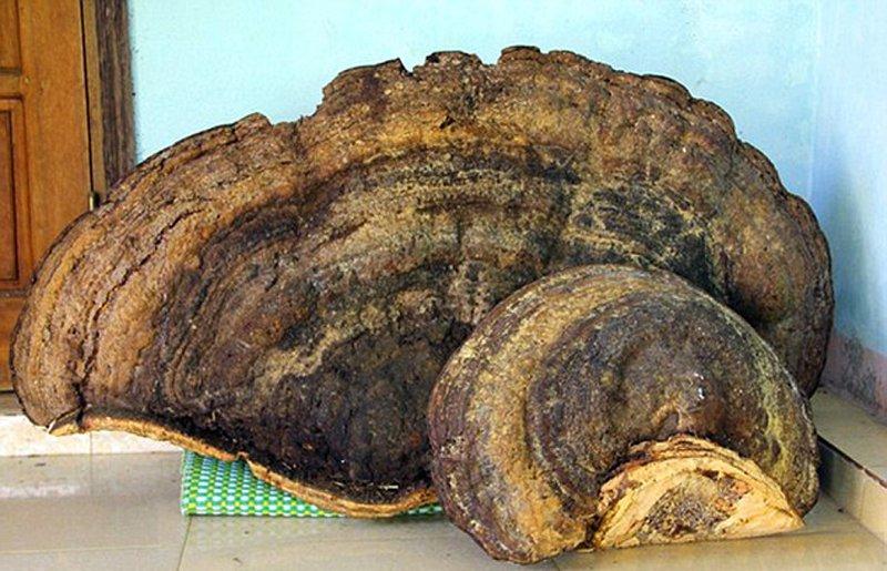 越南发现 70 公斤千年灵芝 当地居民 8000 元买下