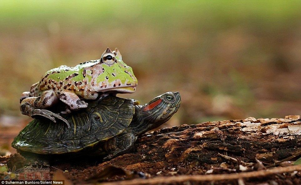 青蛙想骑乌龟,嫌乌龟太慢,下来推它